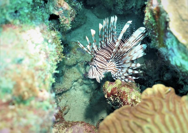 Bonaire-2018-Critters-Lionfish-DSCI1958 (2)
