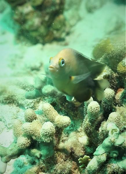 Bonaire-2018-Critters-3 Spot Damselfish-DSCI1496 (2)