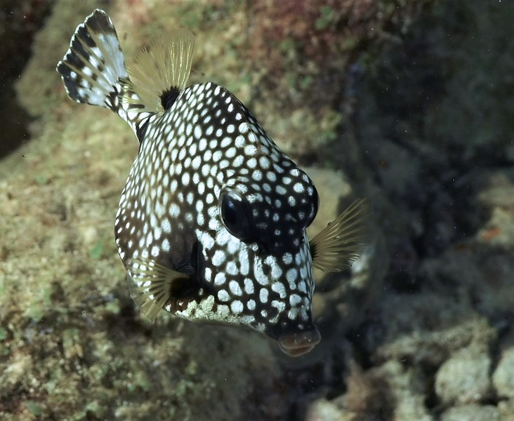 Bonaire-2018-Critters-Spotted Trunkfish at Night-DSCI1752 (2)