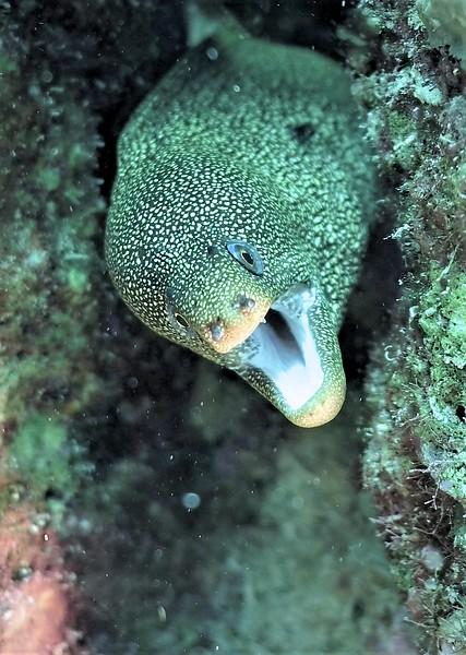 Bonaire-2018-Critters-Moray-DSCI1968 (3)