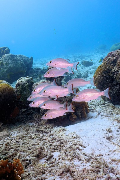 Bonaire-2018-Critters-Mahogony Snappers-DSCI2067 (3)