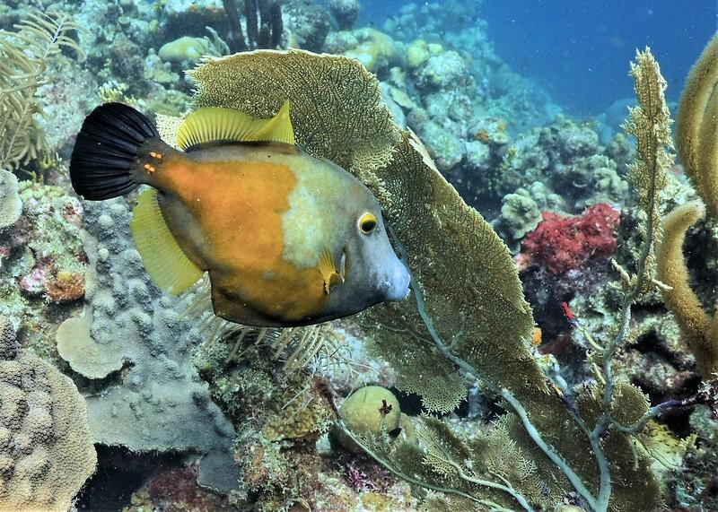 Bonaire-2018-Critters-Whitespot Filefish-DSCI1825 (2)