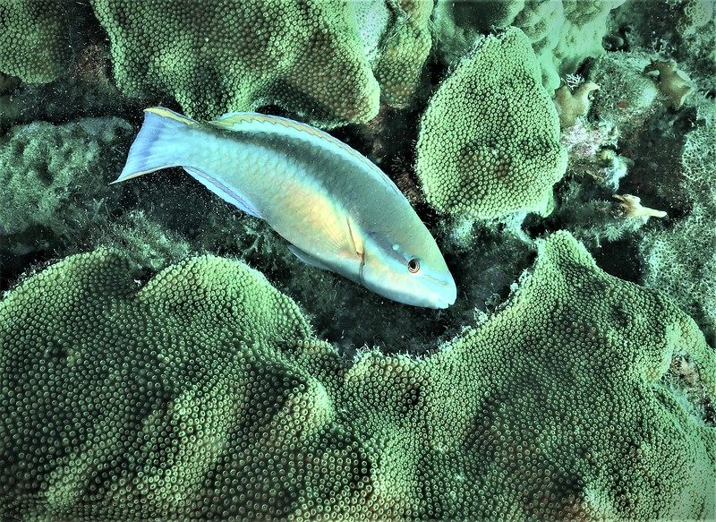 Bonaire-2018-Critters-Princess Parrotfish-DSCI1803 (2)
