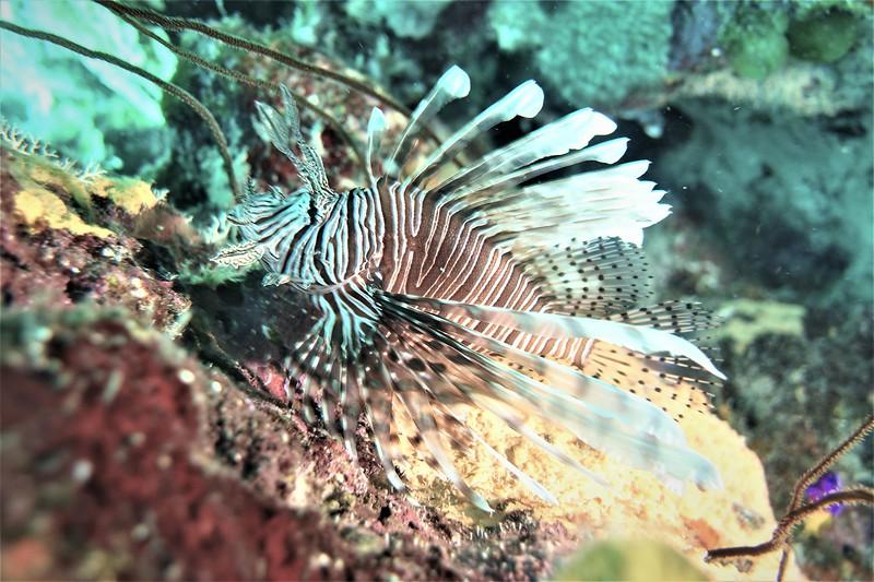 Bonaire-2018-Critters-Lionfish-DSCI1321 (3)