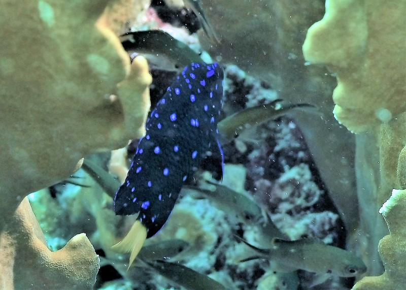 Bonaire-2018-Critters-Yellowtail Damsel Juvi-DSCI2034 (3)