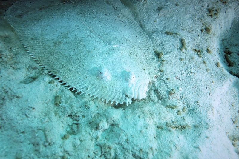 Bonaire-2018-Critters-Flounder-DSCI1317 (2)
