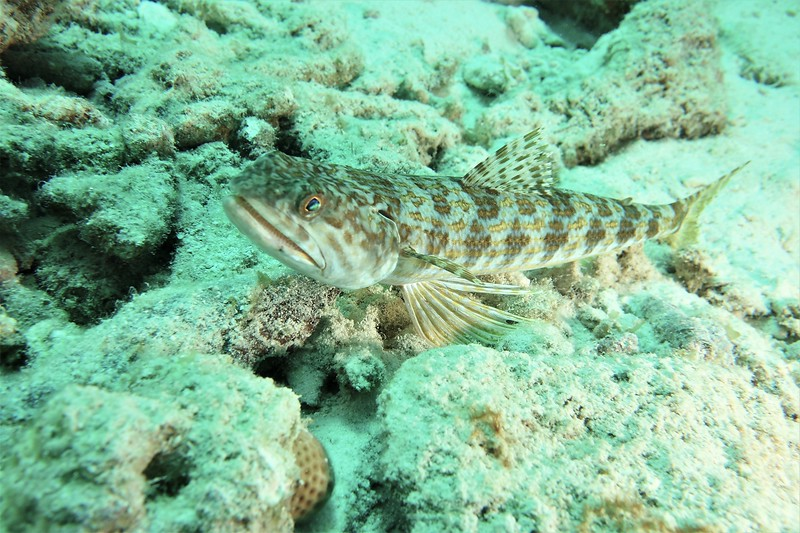 Bonaire-2018-Critters-Lizardfish-DSCI1291 (2)
