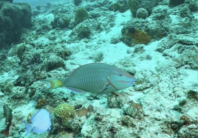 Bonaire-2018-Critters-Stoplight Parrotfish-DSCI1674 (2)