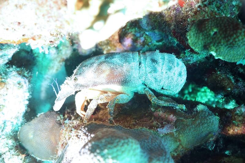 Bonaire-2018-Critters-Slipper Lobster-DSCI1915 (2)