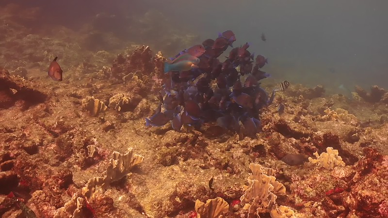 Bonaire-2018-Critters-BlueTangs-DSCI1540