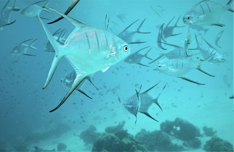 Bonaire-2018-Critters-Palometa-DSCI1608 (2)