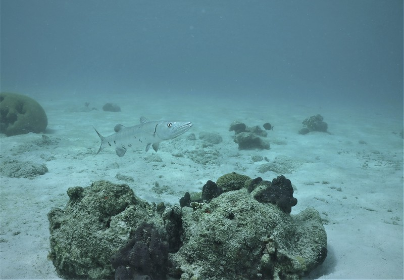 Bonaire-2018-Critters-Baracuda-DSCI1713 (2)