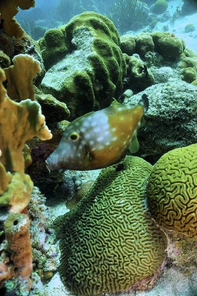 Bonaire-2018-Critters-Whitespot Filefish-DSCI1951