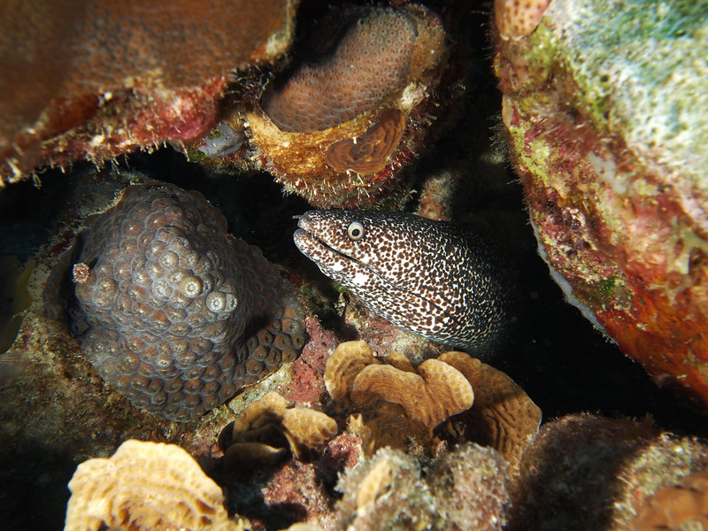Spotted moray near the Hilma Hooker