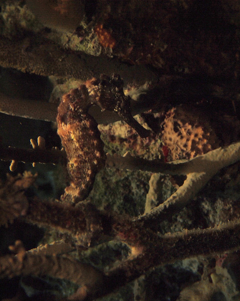 Longsnout Seahorse at Night