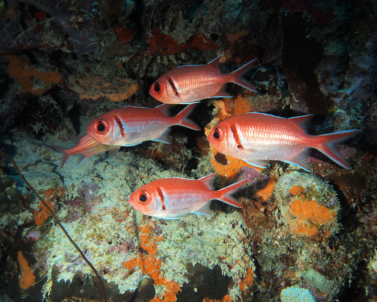 Small group of Barred Soldierfish.