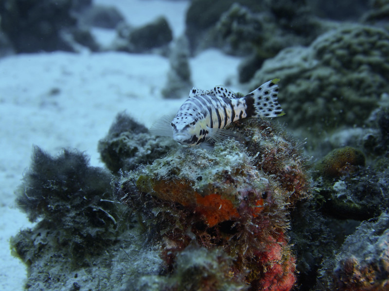 This Harlequin Seabass did not care about my presence...