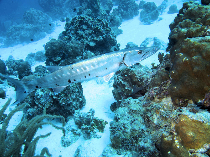 Great Barracuda  --- this was the SMALL one on the trip