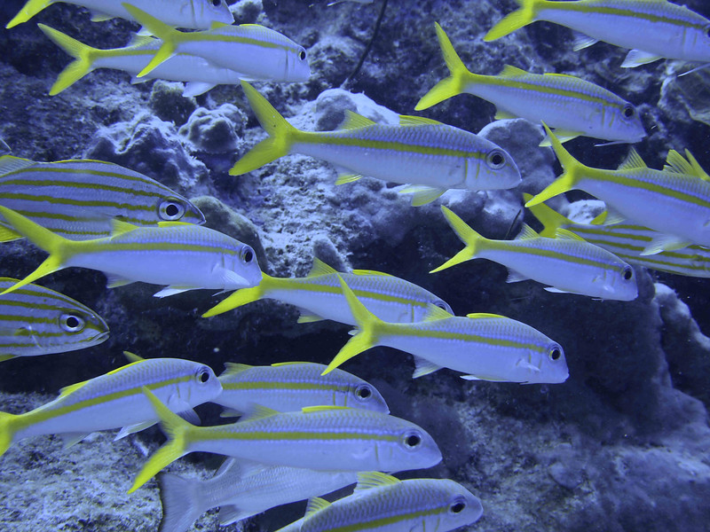 Goatfish enjoy the surrounding reef