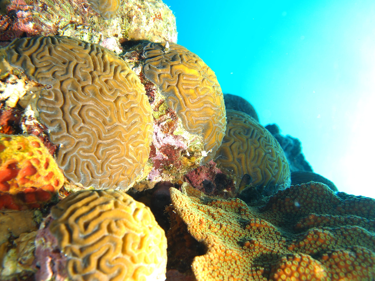Beautiful corals proudly worn by a small sunken boat just north of the Buddy Dive reef. About 30-35 feet of water.