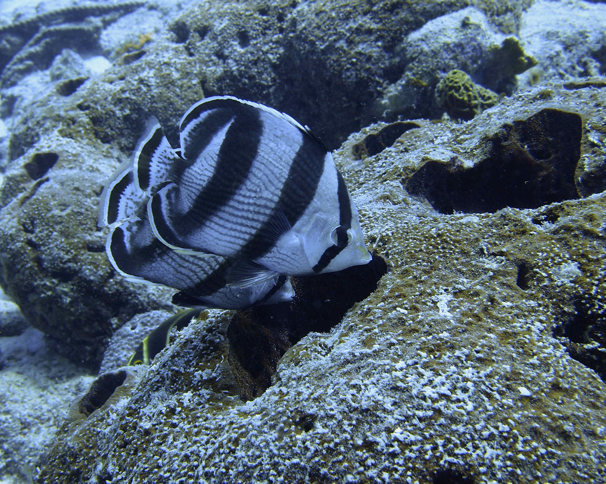 I could have waited all day for this pair of Banded Butterflyfish to align themselves for the camera!