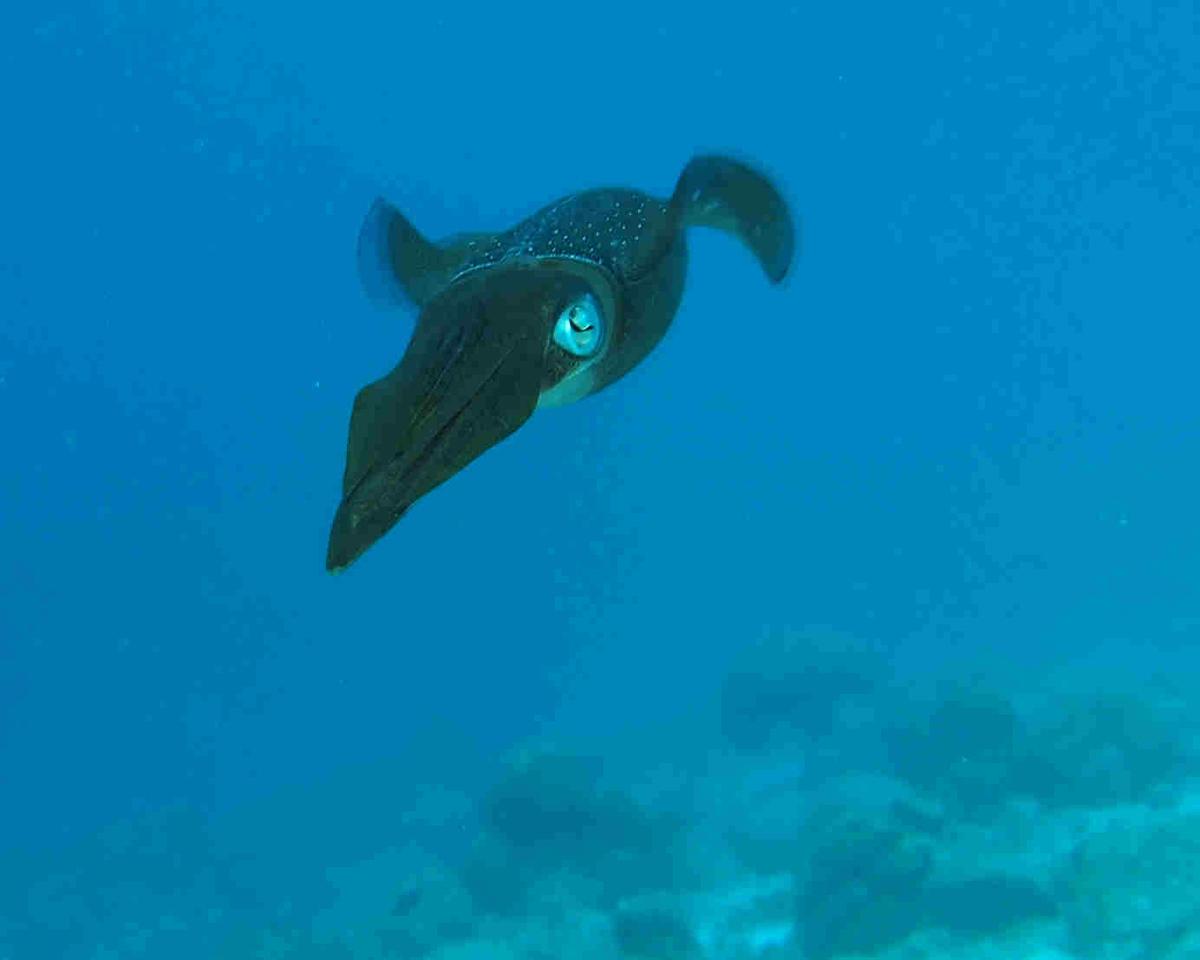 Caribbean Reef Squid 2