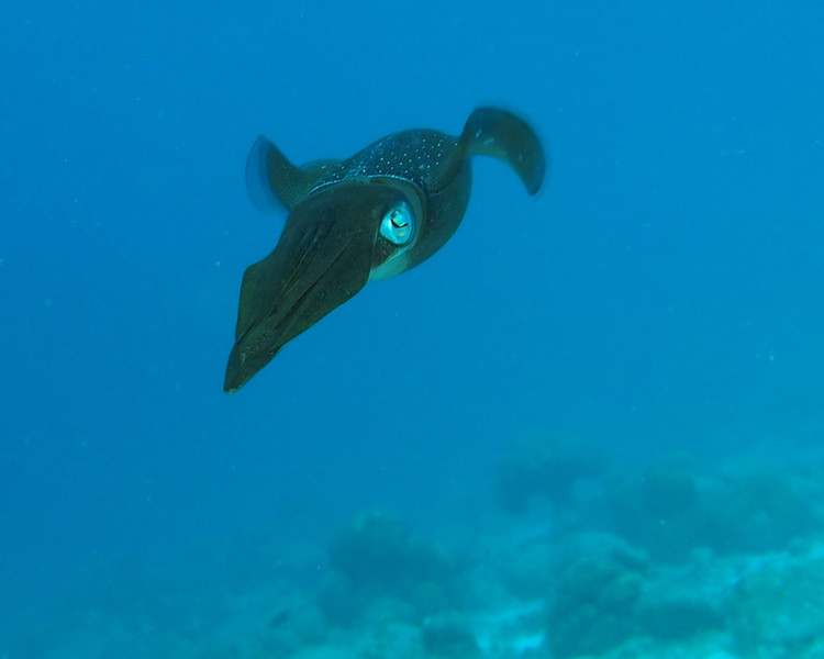 Caribbean Reef Squid 2