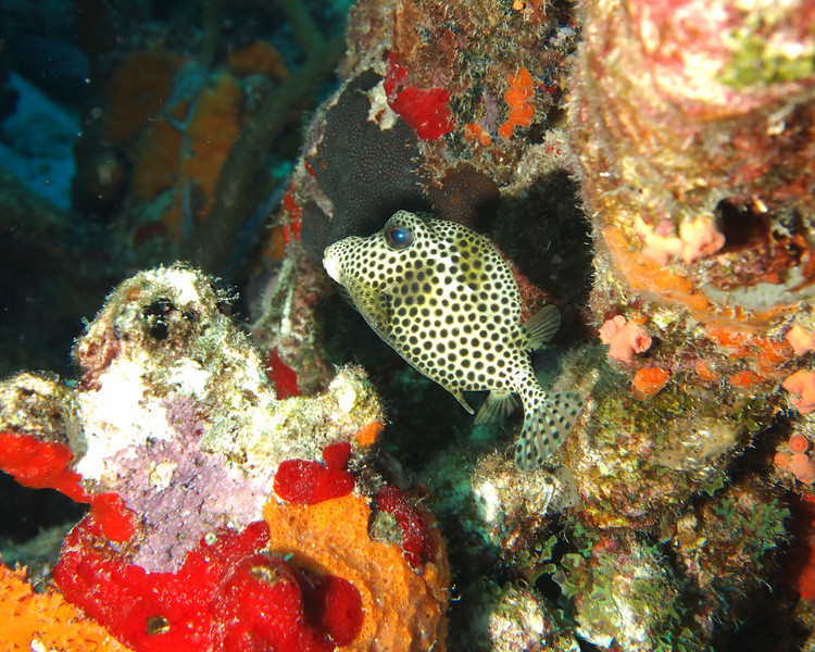 Spotted Trunkfish tries to hide in the coral