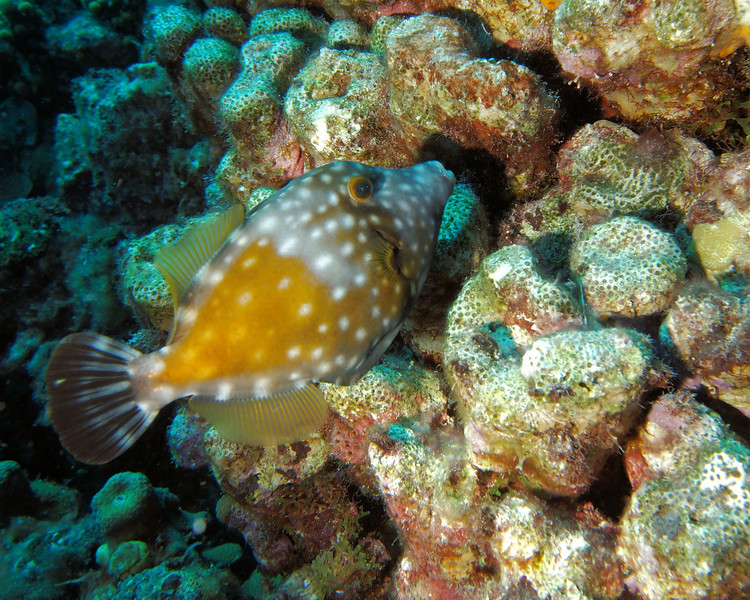 Whitespot Filefish