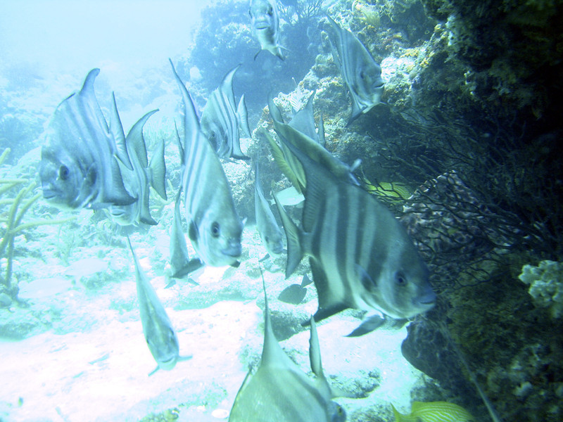 A small group of Atlantic Spadefish off of West Palm Beach