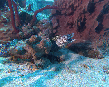 Dom Mar2014- Spotted Moray 3
