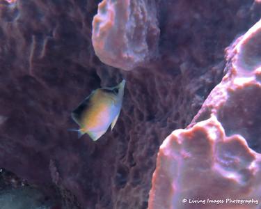 Dom Mar2014 Longsnout Butterflyfish -1