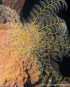A basket star fully open up at night.