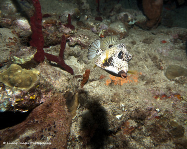 Dom Mar 2014 - Smooth Trunkfish 1