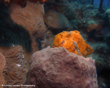 longlure frogfish on the reef at Witch's point
