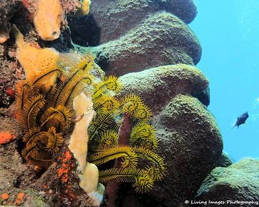 Dom Mar2014 - Crynoid on Reef