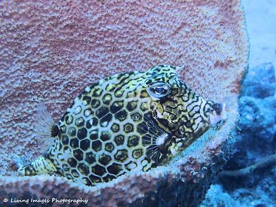 Dom Mar2014 - Honeycomb Cowfish 3