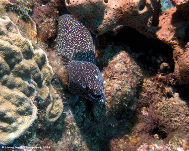 Dom Mar2014- Spotted Moray 8