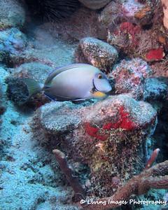 Dom Mar2014 - Ocean Surgeonfish 1