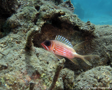 Dom Mar 2014 - Longspine Squirrelfish 2