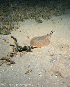 Dom Mar2014 - Lesser Electric Ray 3