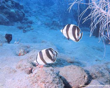 Dom Mar2014 - Banded Butterflyfish 1