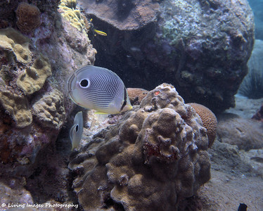 Dom Mar2014 - Foureye Butterflyfish 5