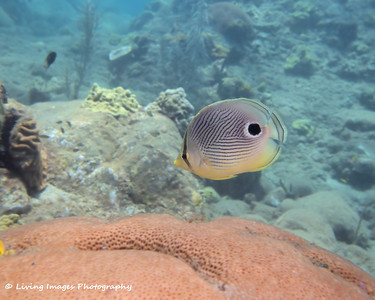 Dom Mar2014 - Foureye Butterflyfish