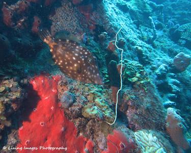Dom Mar2014 - Whitespot Filefish 4
