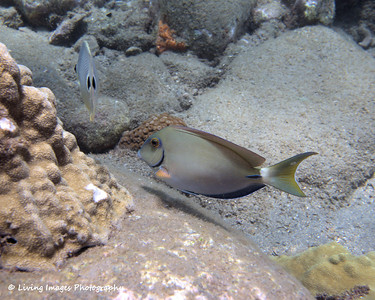 Dom Mar 2014 - Ocean Surgeonfish 4