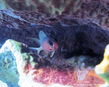 Dom Mar 2014 - Longspine Squirrelfish 3