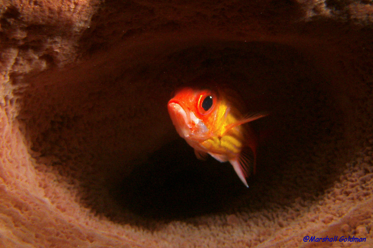 This squirrelfish takes refuge inside a large barrel sponge and eyes me carefully while I take his portrait.