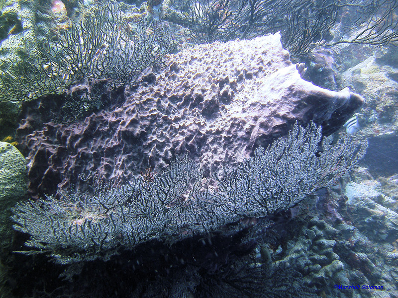 The black corals surrounding this large sponge made it look just like a sponge sandwich!