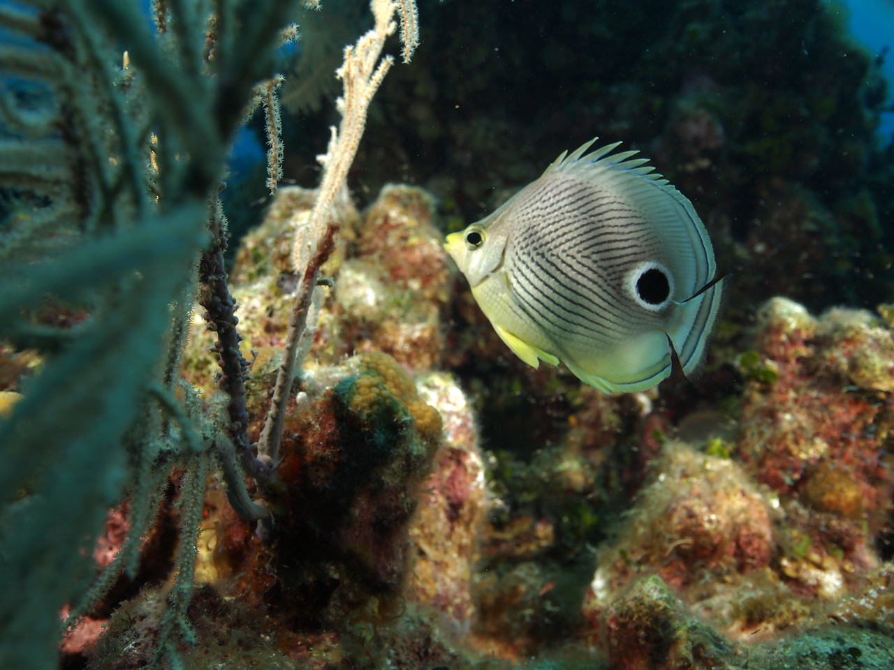 Beautiful 4 Eyed Butterflyfish on the reef.